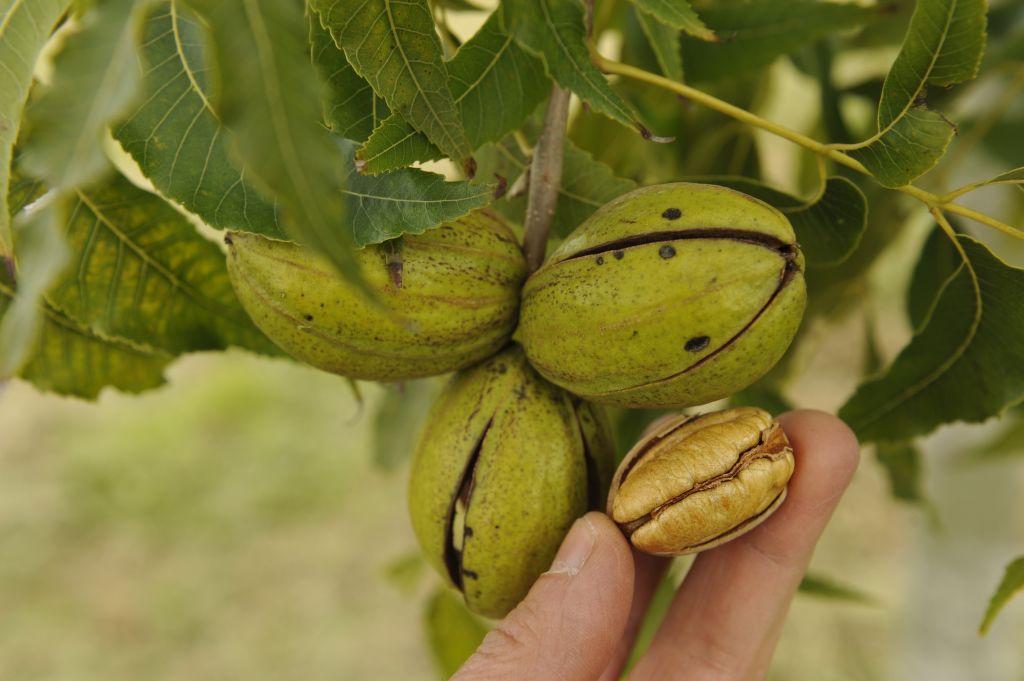 Para ořechy na stromě